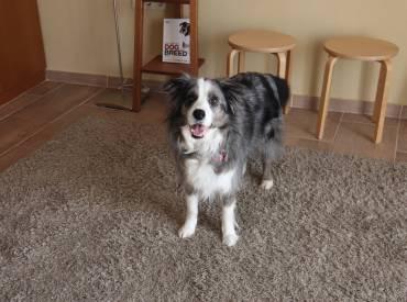 Βίντεο: Βηματική εκπαίδευση σκύλου να στέκεται