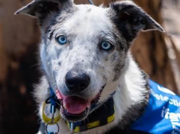 Σκύλος διασώστης εντοπίζει Κοάλα στην Αυστραλία