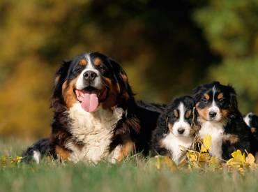 Σκύλος και μητρικό ένστικτο. Σκύλο μαμάδες