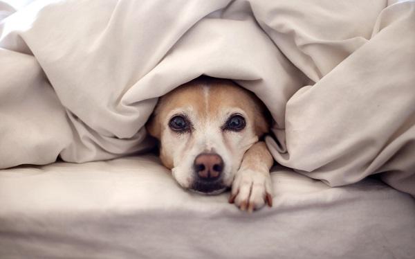 Woofland - Αστείες φωτογραφίες σκύλων κάτω από τις κουβέρτες - Γουφαμάρες 2