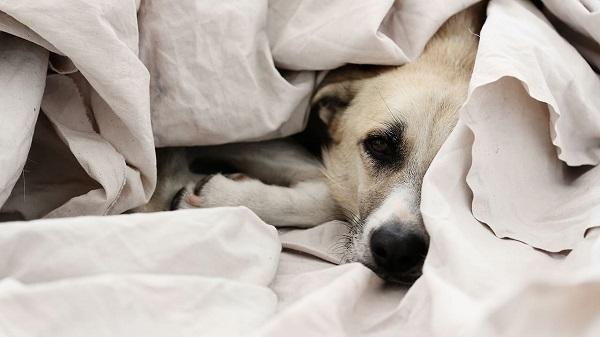Woofland - Αστείες φωτογραφίες σκύλων κάτω από τις κουβέρτες - Γουφαμάρες 3