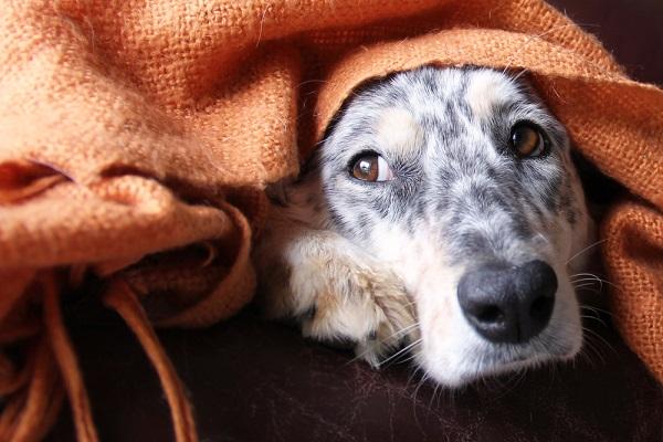 Woofland - Αστείες φωτογραφίες σκύλων κάτω από τις κουβέρτες - Γουφαμάρες 4