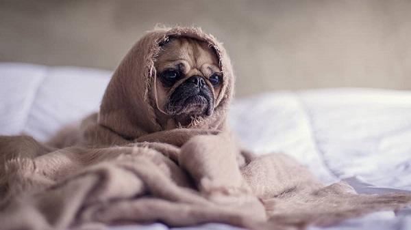 Woofland - Αστείες φωτογραφίες σκύλων κάτω από τις κουβέρτες - Γουφαμάρες 5