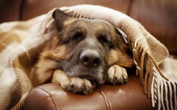 Woofland - Αστείες φωτογραφίες σκύλων κάτω από τις κουβέρτες - Γουφαμάρες 6