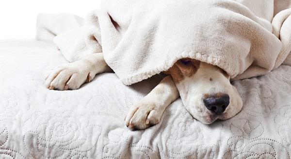 Woofland - Αστείες φωτογραφίες σκύλων κάτω από τις κουβέρτες - Γουφαμάρες 7