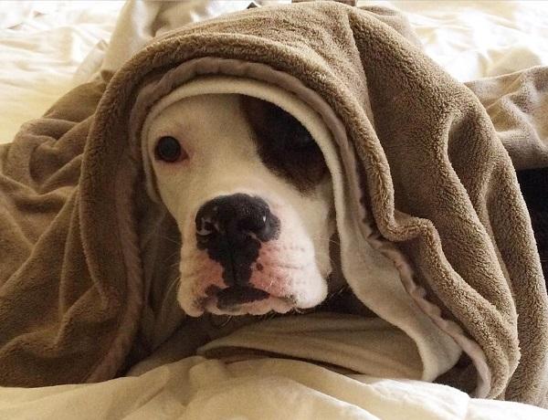 Woofland - Αστείες φωτογραφίες σκύλων κάτω από τις κουβέρτες - Γουφαμάρες 8