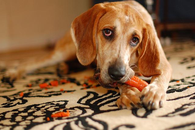 Woofland - Αστείες φωτογραφίες σκύλων που τρώνε καρότα- Γουφαμάρες 1