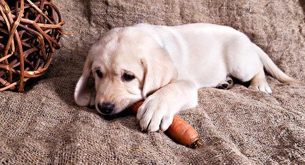 Woofland - Αστείες φωτογραφίες σκύλων που τρώνε καρότα- Γουφαμάρες 7