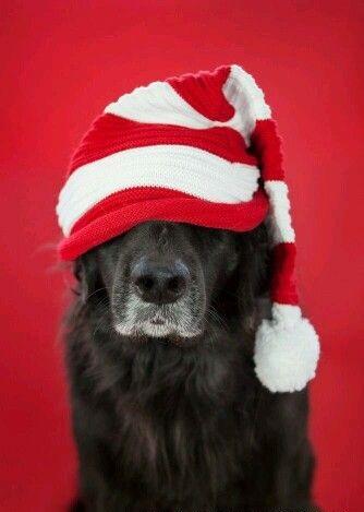Αστείες φωτογραφίες σκύλων που φορούν Χριστουγεννιάτικα