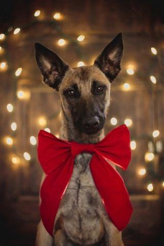 Woofland - Αστείες φωτογραφίες σκύλων που φορούν Χριστουγεννιάτικα 1