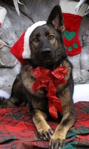 Woofland - Αστείες φωτογραφίες σκύλων που φορούν Χριστουγεννιάτικα 2