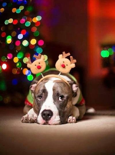 Woofland - Αστείες φωτογραφίες σκύλων που φορούν Χριστουγεννιάτικα 6