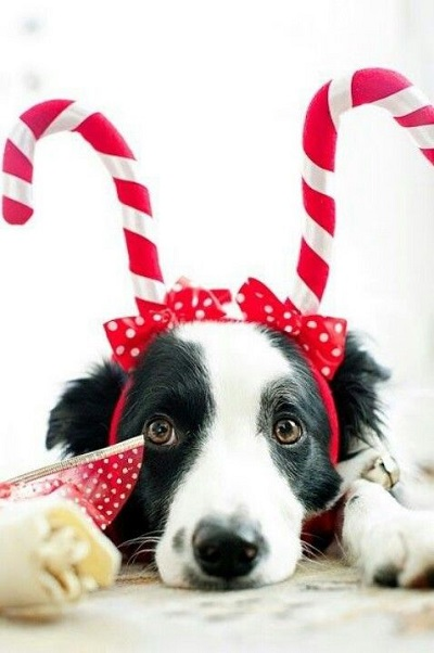 Woofland - Αστείες φωτογραφίες σκύλων που φορούν Χριστουγεννιάτικα 7