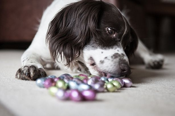 Woofland - Αστείες φωτογραφίες σκύλων που έφαγαν πολύ - Γουφαμάρες 3