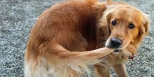 Γιατί ο σκύλος μου κυνηγάει την ουρά του – Woofland