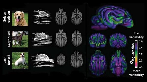 Woofland -Διαφορετικές φυλές σκύλων έχουν διαφορές στον εγκέφαλο - Επιστήμη και ενημέρωση 4