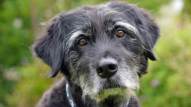 Woofland - Επιστήμη και ενημέρωση - Άγχος και γκρίζο τρίχωμα στο σκύλο μου