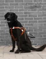 Η ιστορία ενός σκύλου οδηγού – Σκύλοι βοηθοί και εργασίας