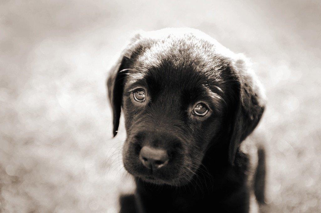Οι σκύλοι μας χειραγωγούν με τα μάτια τους