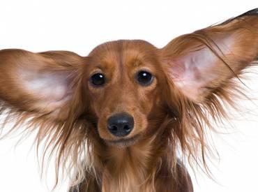 Πως να καθαρίσω τα αυτιά του σκύλου μου