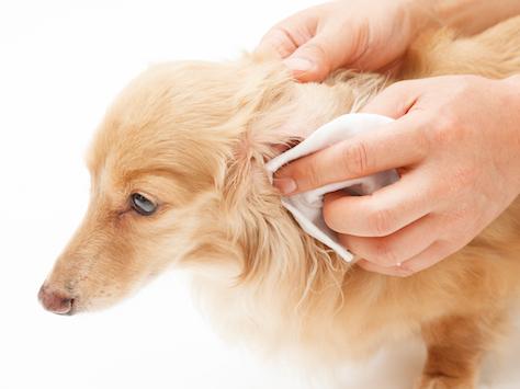 Woofland - Πως να καθαρίσω τα αυτιά του σκύλου μου - Φροντίδα και υγεία σκύλων