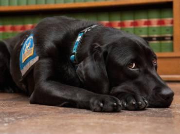 Σκύλοι βοηθούν τα θύματα να καταθέσουν στα δικαστήρια