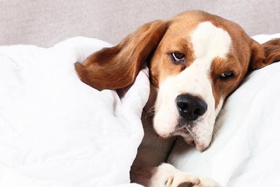 Σκύλος και γρίπη – Φροντίδα και υγεία σκύλων – Woofland