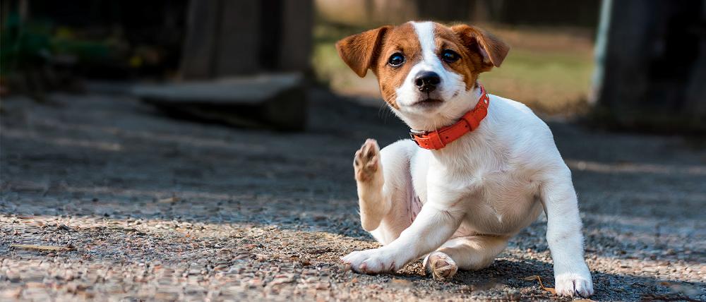 3 τρόποι να ελέγξω το σκύλο για ψύλλους – Φροντίδα και υγεία